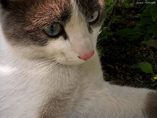 Blue-eyed cat 1 | by lucypeddy