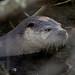 Ollie-Otter