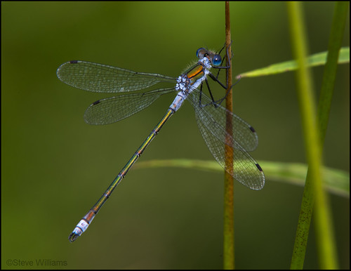 MALE EMERALD DAMSEL | by d1ngy_skipper