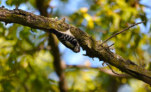 Downy Woodpecker | by Chad Horwedel