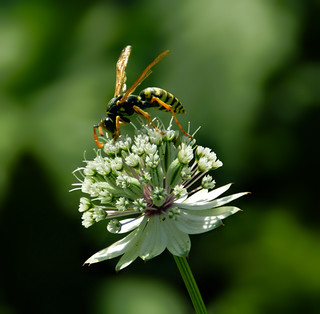 Busy Wasp | by *Gitpix*