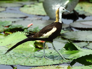 里山物種之一:水雉。攝影:翁榮炫