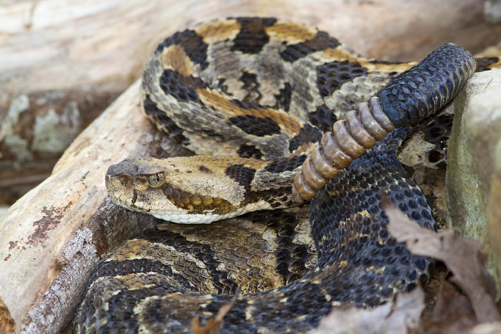 Timber Rattlesnake | The timber rattlesnake (Crotalus ...