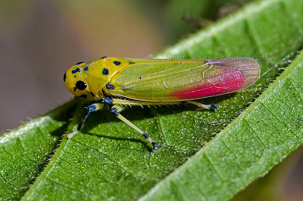 colorful leaf hopper by - photo #6