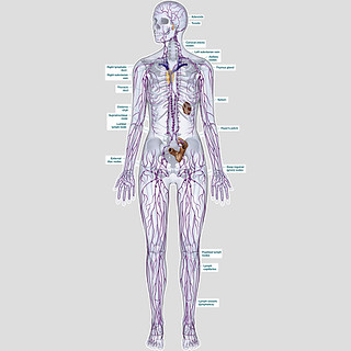 Lymph System Cleanse Lymplex Reviews Lymph System Cleans
