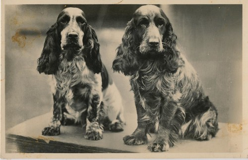 pc spaniels j 30 | by janwillemsen