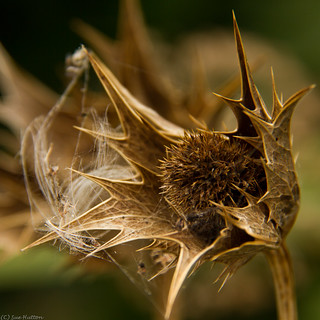Thistle Head with Dandelion Seeds | by Sue_Hutton