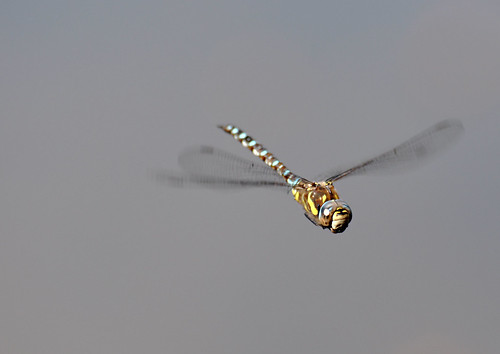 Dragon Fly | by Janet Stone