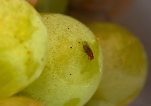 Fruit Flies on Grapes | by erikrasmussen