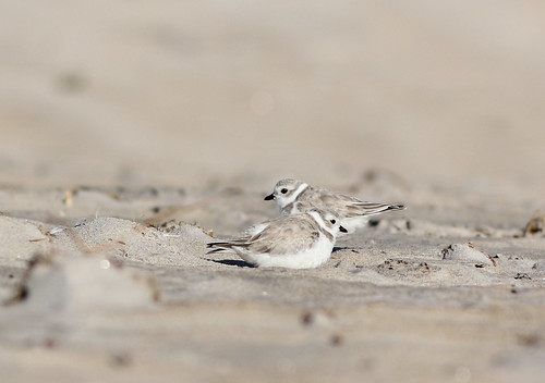 Piping Plover Pair | by hawkwatcher08...Boston Strong!