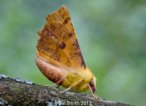 Canary Shouldered Thorn Moth (Ennomos quercinaria) | by smithval46