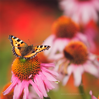 The butterfly is a flying flower, The flower a tethered butterfly. | by www.juliadavilalampe.com