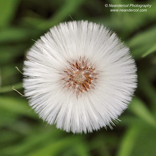 Dandylion | by neandercol
