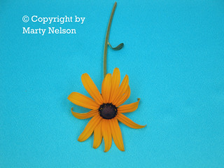 Black Eyed Susan On Turquoise 2 - © Copyright by Marty Nelson. | by Marty Nelson Photography
