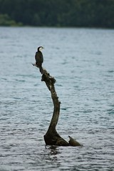 Cormorant on Lake Hayes