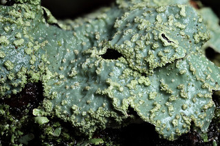 Lichen on a pear tree after the rain #2 | by Lord V