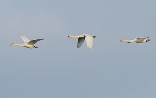 D228992 Whooper Swans | by Nick Sidle