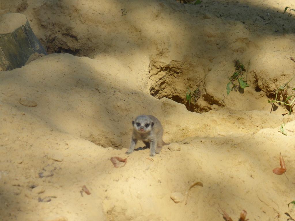 Visite au parc zoologique de thoiry 78 suricates for Parc zoologique 78