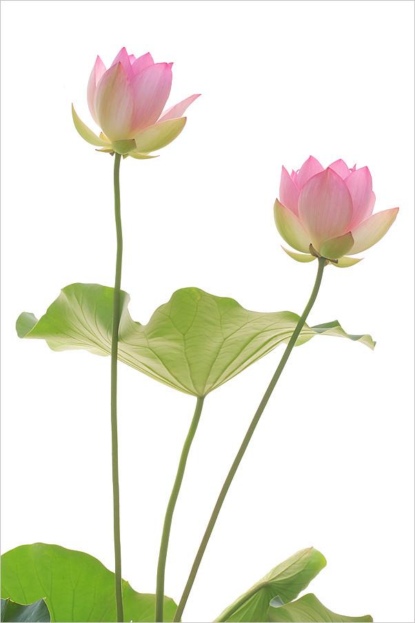 Pink Lotus Flowers And Leaf Pink Lotus Flowers And Leaf Flickr