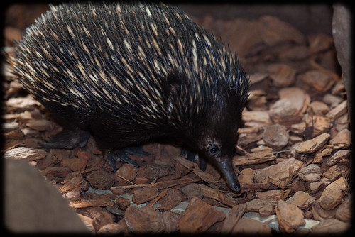 Echidna (Tachyglossus aculeatus): Lunch Time | by Craig Jewell Photography
