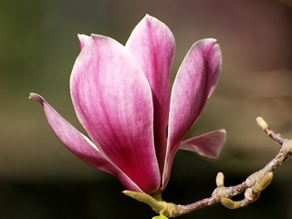 Magnolia | by di on the wallaby