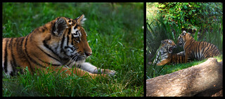Tiger Diptych | by QuikSink