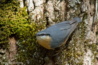 European Nuthatch.Sitta caesia.Digiscoped. | by Brian McCombe