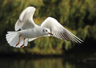 Black Headed Gull | by bojangles_1953