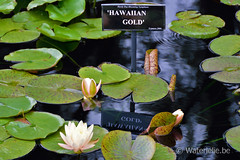 Nymphaea Hawaiin Gold2005