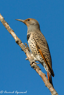 Northern Flicker - IMG_8155-1 | by arvind agrawal