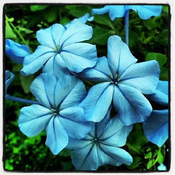 Fiori Azzurri.Fiori Azzurri Icamaleonte On The Road Flickr
