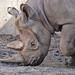 Black rhino 05