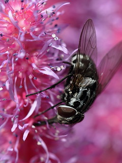 Fly (?) on Astilbe Chinensis | by Richard W2008