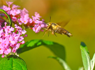Hummingbird Clear Wing Moth | by rhsand1