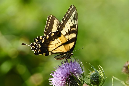 Eastern Tiger Swallowtail | by Paris Images