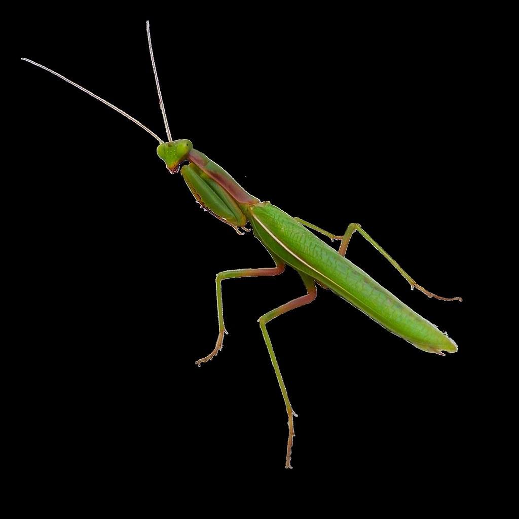 praying mantis - mantis religiosa - png file
