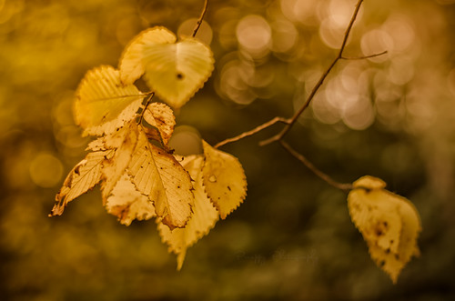 Golden leaves | by Preappy