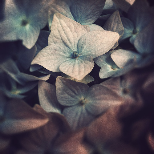 Hydrangeas | by Con Ryan