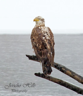 Bald Eagle on a river snag | by Jericho Hills Photography