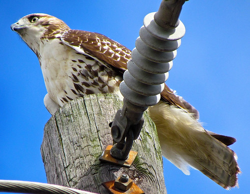 Red Tail Hawk | by audreyjm529