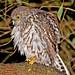 Barking  Owl - 18  September  2007 205