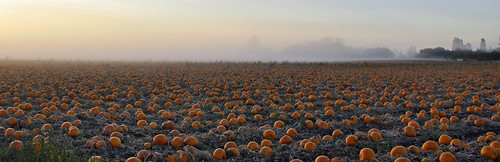 Pumpkins fields forever.... | by picaday