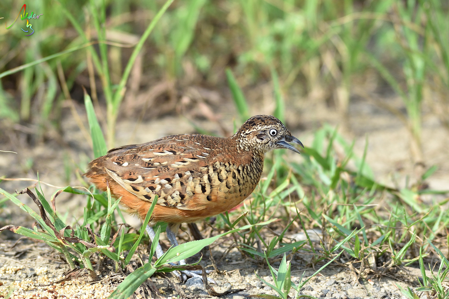 Barred_Butonquail_9528