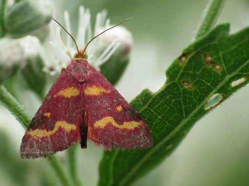 Red Coffee-loving Moth | by treegrow