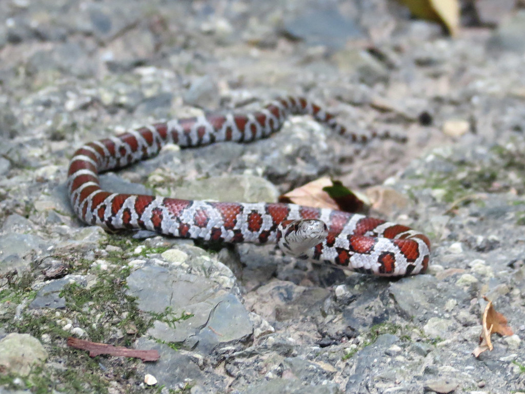 Eastern Milk Snake (Evansburg SP) | Juvenile Eastern Milk ...