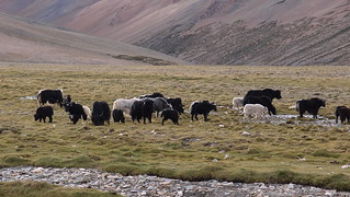 A herd of yaks passing the campsite | by a_brit_abroad