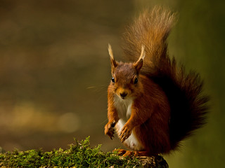 Red Squirrel | by MOZBOZ1