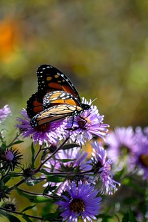 monarch on asters | by mainesandy