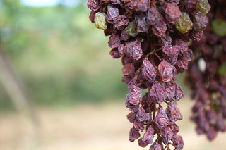 Grapes | by tribp
