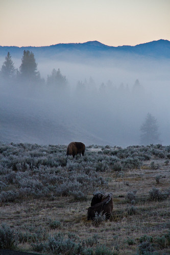 Bison at the Dawn Fog | by Digital_hh